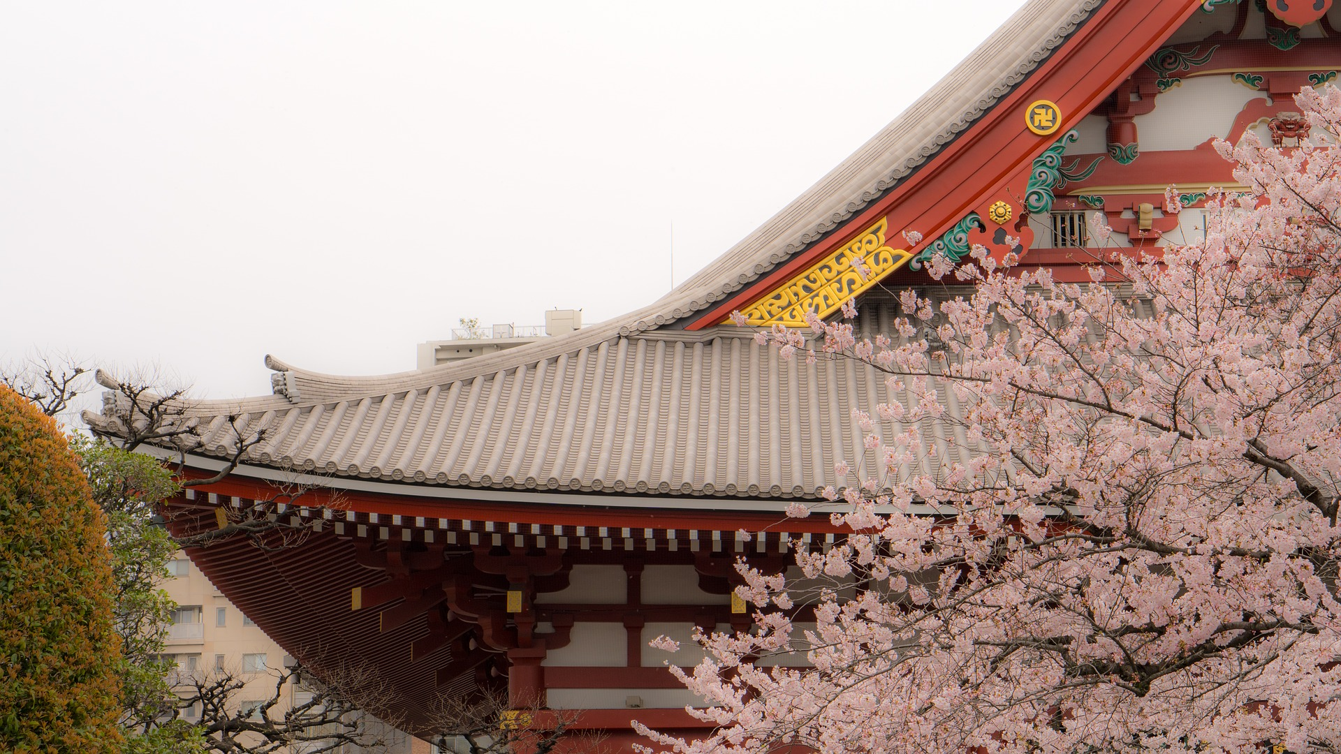 أزهار الكرز في اليابان